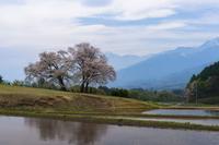 今シーズン最後の桜、鼎談桜 - オーナーズブログ・八ケ岳南麓は晴れています!