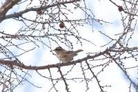 夏羽シラガホオジロは見えず - 四十雀の欣幸 ~野鳥写真日記~