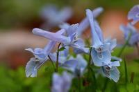 青い花 - 暮らしの中で
