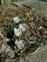 春の訪れ - こ~ちゃんのすっとこドッコイなお家の暮らし4