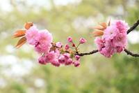 里桜 - 木洩れ日 青葉 photo散歩