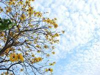 イペー咲く - いつかみたソラ