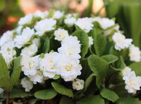 玄関前花壇のプリムラ - my small garden~sugar plum~