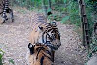 スマトラトラ親子別れ - 動物園に嵌り中