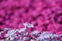 芝桜 - (=^・^=)の部屋 写真館