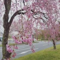 4月23日の桜 ✳ 軽井沢 プリンスショッピングプラザ - ぴきょログ~軽井沢でぐーたら生活~