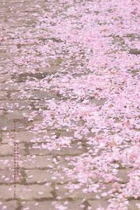桜の絨毯 - cache-cache