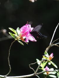オナガアゲハ - 自然を楽しむ