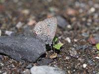 徳島方面遠征スギタニルリシジミとコツバメByヒナ - 仲良し夫婦DE生き物ブログ