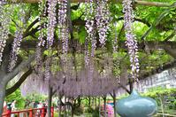 見頃を過ぎた、亀戸天神社の藤まつり - kenのデジカメライフ