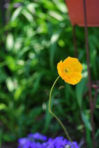 4/25 庭に一年草 - 「あなたに似た花。」