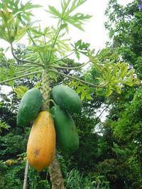 papaya&guava&mulberry - チルチルCafe&野遊び
