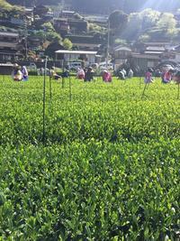 茶摘み - 佐賀県伊万里市フラワーアレンジメント&紅茶レッスン cantabile♪ flower &tea Lesson 伊万里style