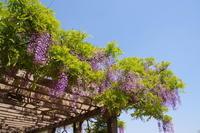 藤が咲く多々良沼散策 - 季節の風を追いかけて
