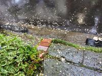 あー無情。この雨でハナミズキは完全に終わりました。 - 設計事務所 arkilab
