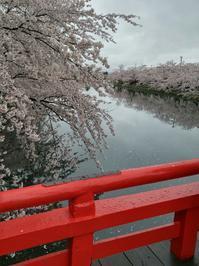 弘前城の桜 - 料理研究家ブログ行長万里  日本全国 美味しい話