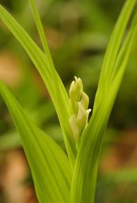 保存林のギンラン(銀蘭)Ginran - 素人写人 雑草フォト爺のブログ
