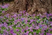 カタクリの花(豊平公園) - お茶にしませんか