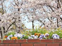 花壇と桜とイチゴタルト - 美味しい贈り物