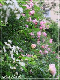 今年は、バラの蕾の数の多さにワクワクが止まりません - 恋子のガーデニング日記