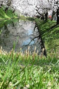 弘前城の桜、お堀の桜は春爛漫、津軽海峡を渡る桜・・・・ゴールデンウイーク桜の美しい弘前城① - 藤田八束の日記