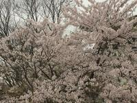 雨上がりの庭、秋田にも春が来ました。 - 秋田 蕗だより
