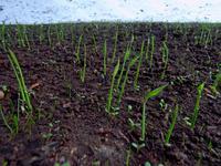 苗代・種まきから1週間 - 農と自然のさんぽみち・やまだ農園日記