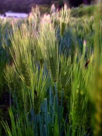 麦秋 - 農と自然のさんぽみち・やまだ農園日記