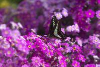 プリムラにアオスジアゲハ - チョウ!お気に入り