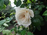 Plagas de rosas. - Gardener*s Diary