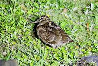 固有種「アマミヤマシギ」さんに会えました♪初見♪初撮り♪固有種カエルさん色々♪ - ケンケン&ミントの鳥撮りLifeⅡ