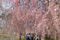 会津路の春 ~ 会津喜多方 日中線の枝垂れ桜 ~ - あんだんて♪の、人生の忘れものを探しに・・・