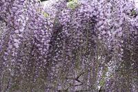 春雨の九尺藤 ~白毫寺 - いつもココに帰る