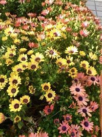 朝の花摘み&朝時間.jp「今日のイチオシ 」春菊のサラダ - E*N*JOY