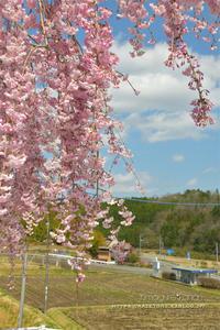 雪と桜が降る日 - きまぐれ*風音・・kanon・・