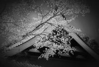 古寺の桜 - As it is