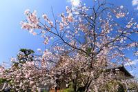 桜咲く京都2018妙蓮寺の御会式桜 - 花景色-K.W.C. PhotoBlog