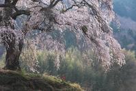 上発地の枝垂桜 - Patrappi annex