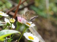 徳島方面遠征 クロツバメシジミの吸蜜 Byヒナ - 仲良し夫婦DE生き物ブログ