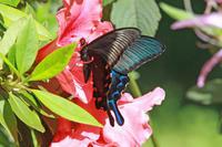カラスアゲハツツジに集まるアゲハ - 蝶のいる風景blog