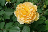 庭の薔薇  (2018/4/26) - 春&ナナと庭の薔薇