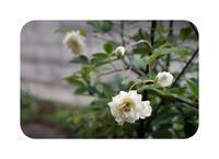 白い花3つ - あおいそらそよぐかぜ
