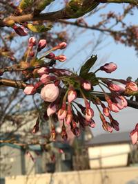 咲き始めた桜♪ 〜余市町〜 - 笑う門には福来たる