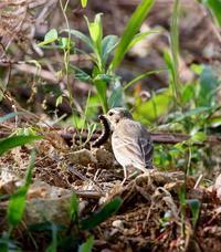マイフイールドを覗いてみたが・・・ - 一期一会の野鳥たち