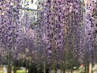 春、花を追いかけて@足利フラワーパーク - 五十路半ば、猫と暮らしと旅日記