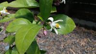 レモンの花 - 世に万葉の花が咲くなり