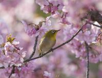 河津桜とメジロさん - 鳥撮りに行こう!(ついでにあれもこれも)