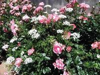 こどものくに春のバラまつり - Harmonicハーモニックのブログ