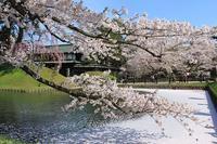 弘前公園桜_2018.04.26 - 弘前感交劇場