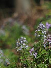 飛騨のギフチョウ - 自然を楽しむ